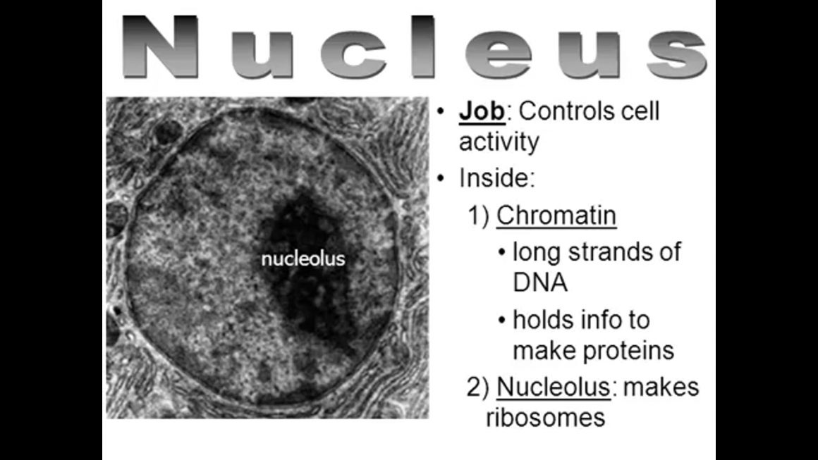 Organelles of the cell – updated