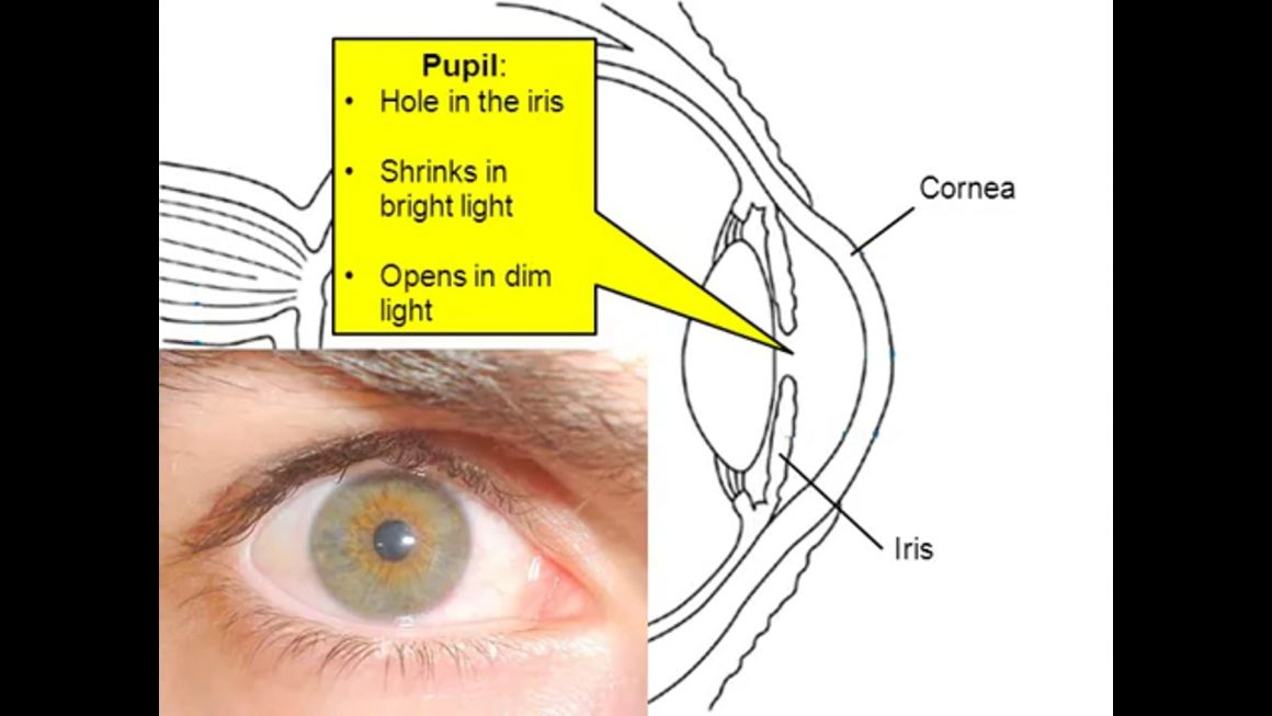 Eye anatomy and Sight