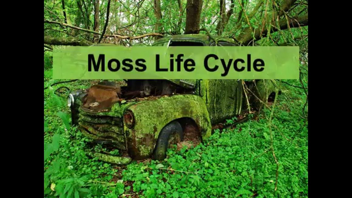 Cycle – Moss life cycle