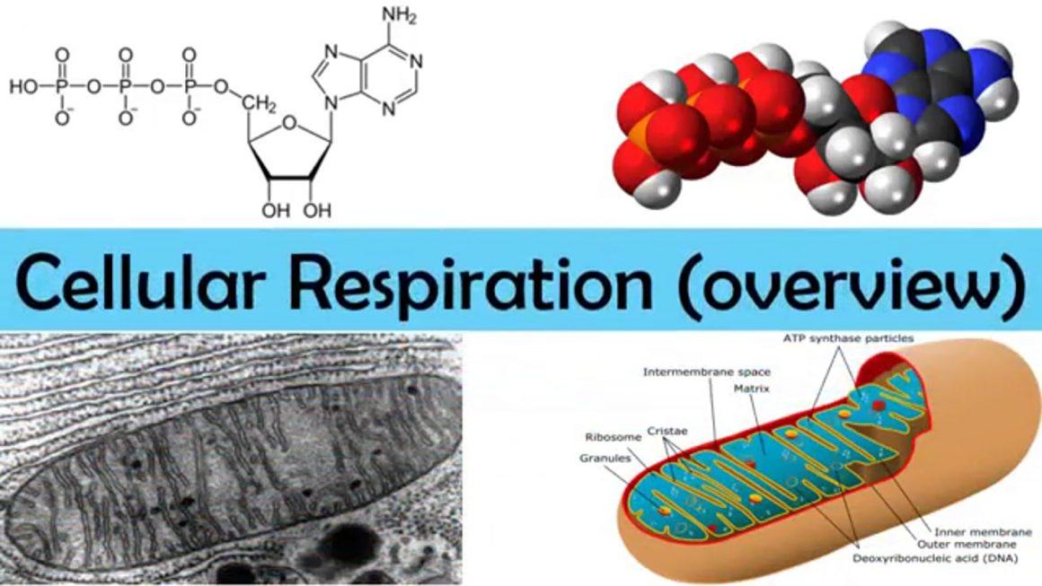 Cellular respiration – overview